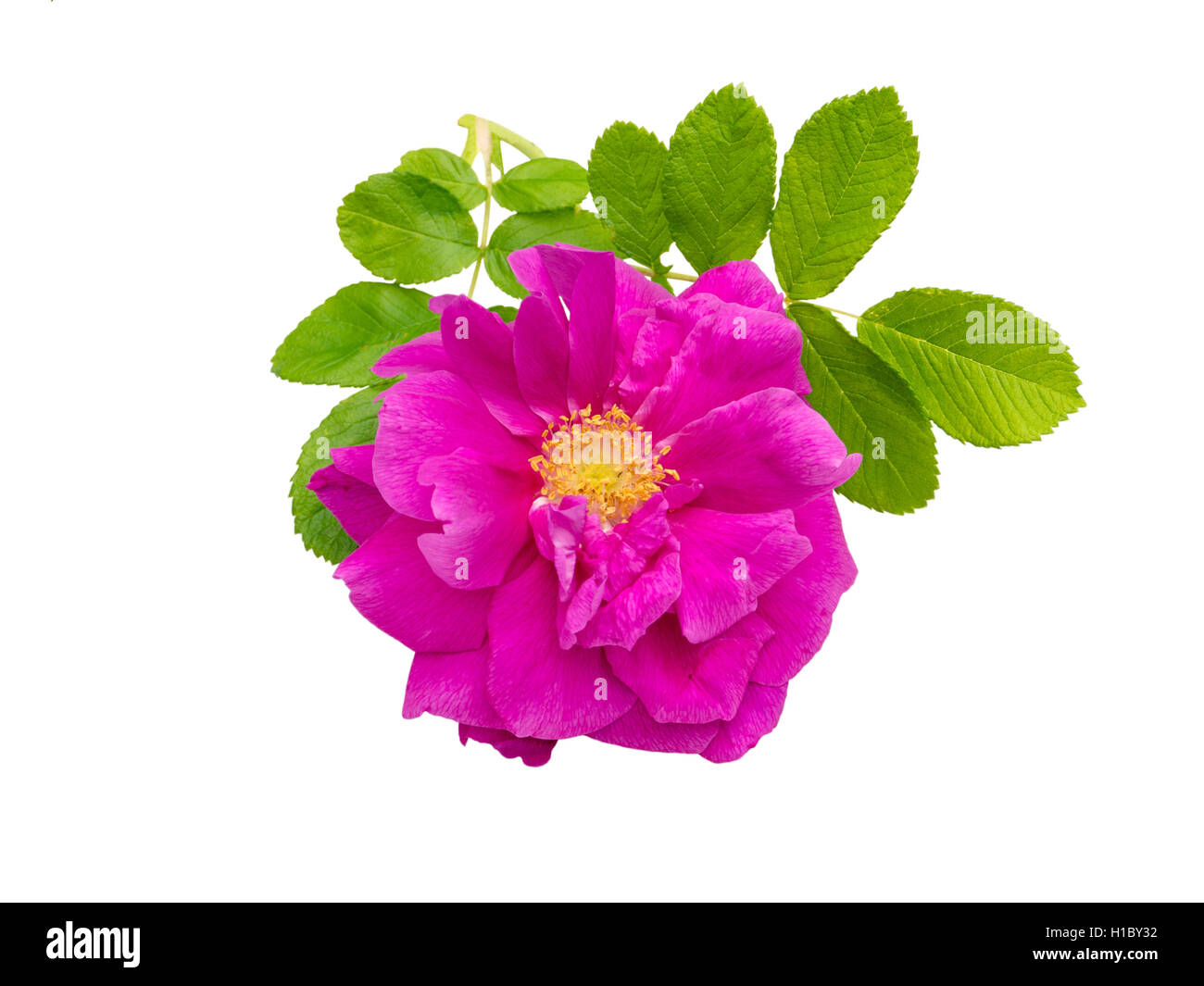 Pink rosa rugosa with leaves isolated on white - Stock Image