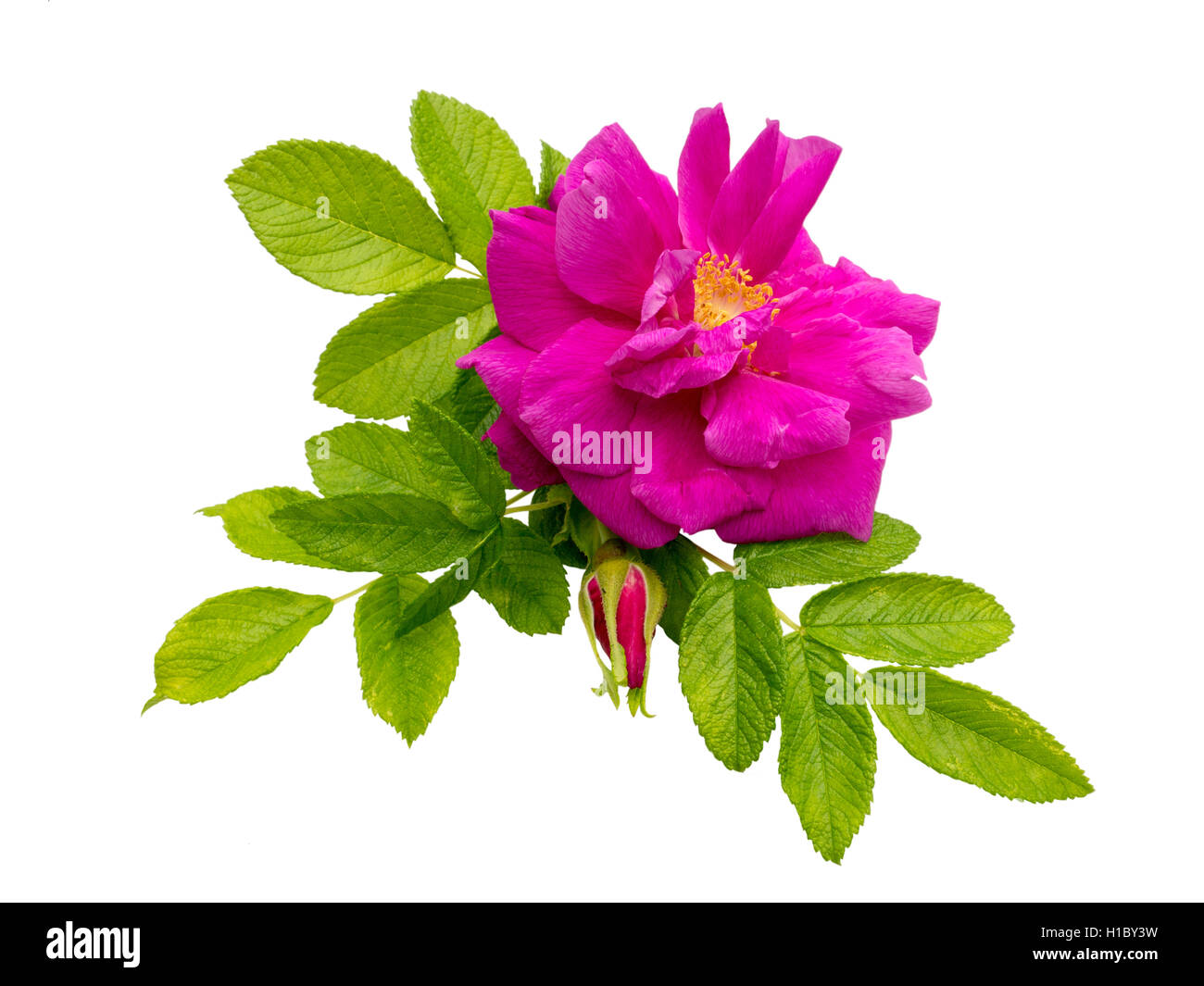 Pink rosa rugosa with leaves and bud isolated on white Stock Photo