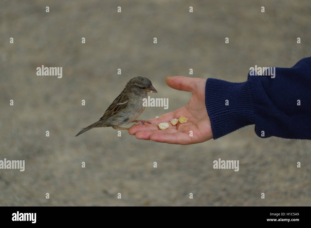 sparrow bird eating bread from outstretched hand Stock Photo