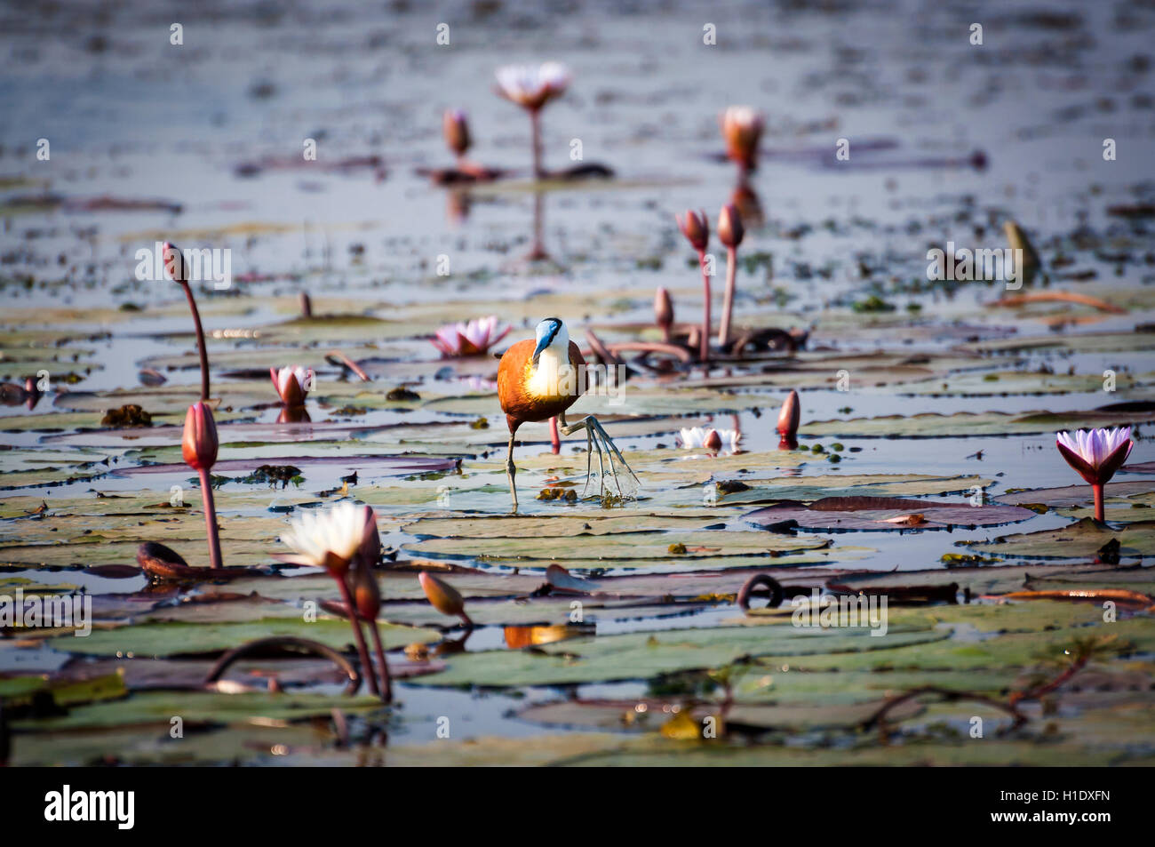 African Jacana in the Chobe River, Chobe National Park, in Botswana, Africa - Stock Image