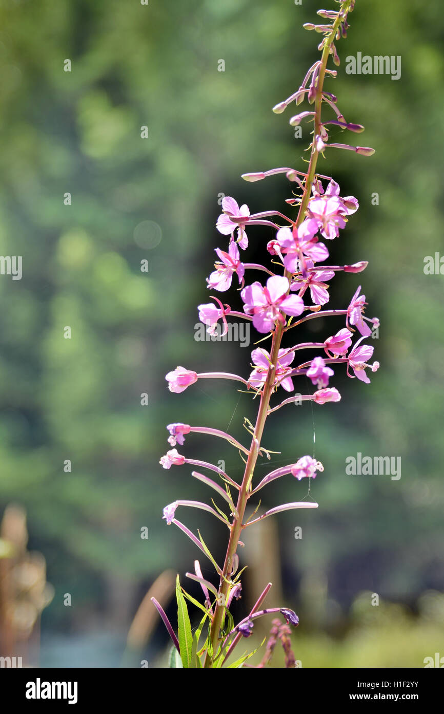 Close-Up Abstract Multiple Exposed Wild Rose Quartz Flowers_3 with Blurry Soft Background Brandywine Meadows, Whistler, - Stock Image