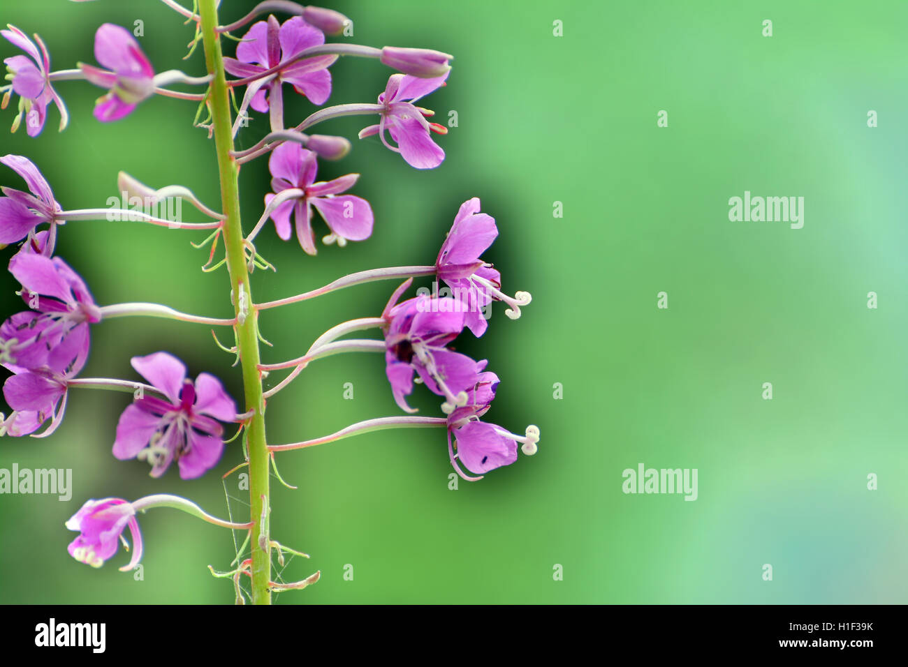 Close-Up Abstract Multiple Exposed Wild Rose Quartz Flowers_2 with Blurry Soft Background Brandywine Meadows, Whistler, - Stock Image