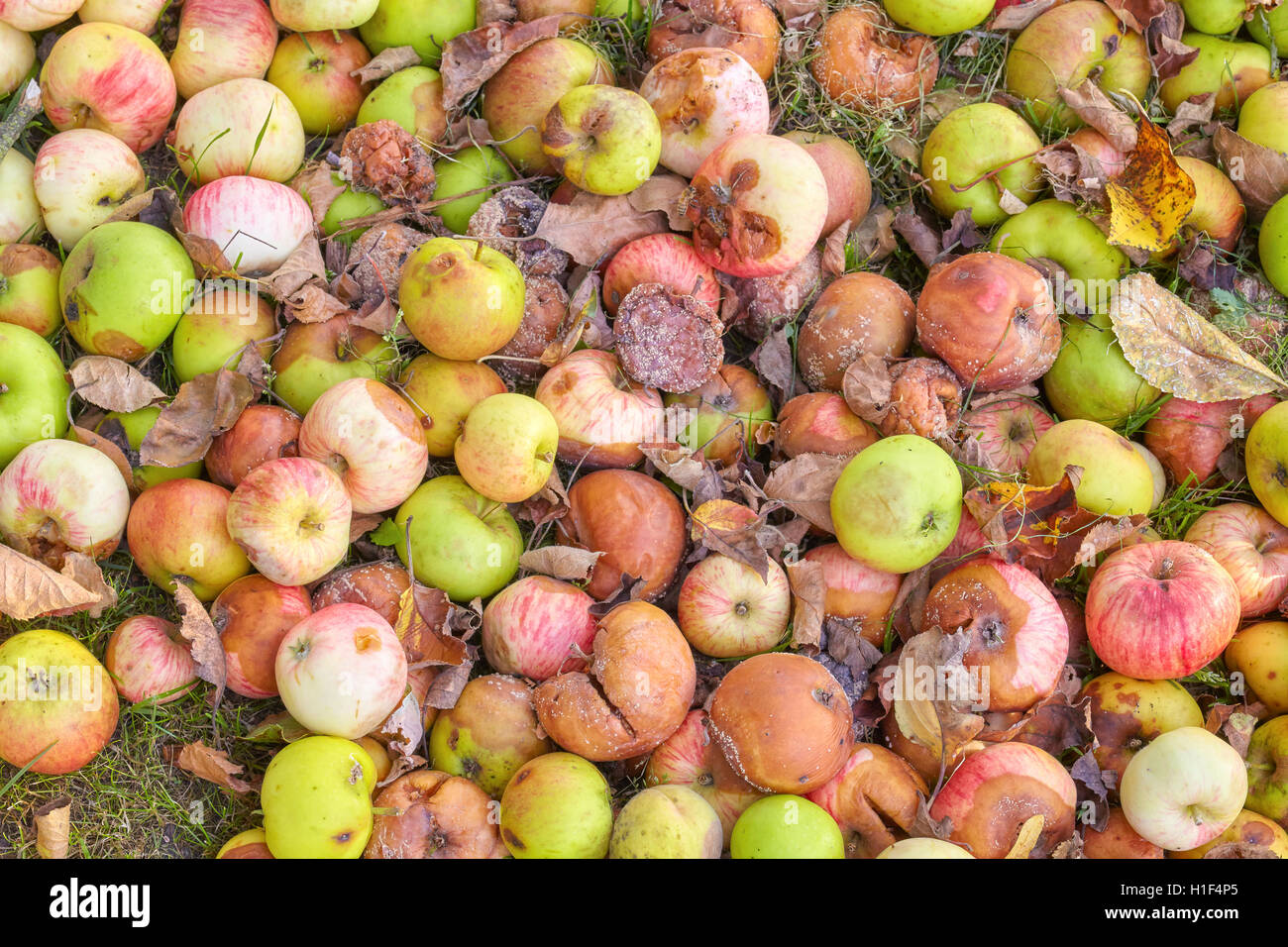Picture of rotten apples in a garden. - Stock Image