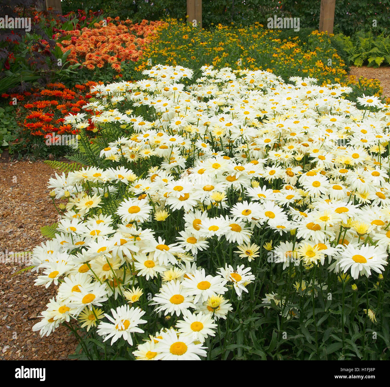 Large white chrysanthemum leucanthemum oxeye daisies flowers stock large white chrysanthemum leucanthemum oxeye daisies flowers growing in a perennial border at tatton park flower show cheshire uk in 2016 izmirmasajfo