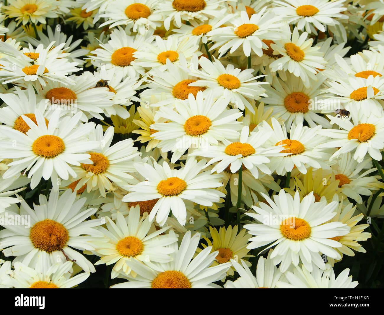 Large white chrysanthemum leucanthemum (oxeye daisies) flowers growing in a perennial border at Tatton Park flower Stock Photo