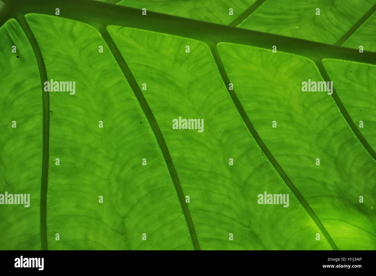 Closeup of leaf with beautiful veins. Stock Photo