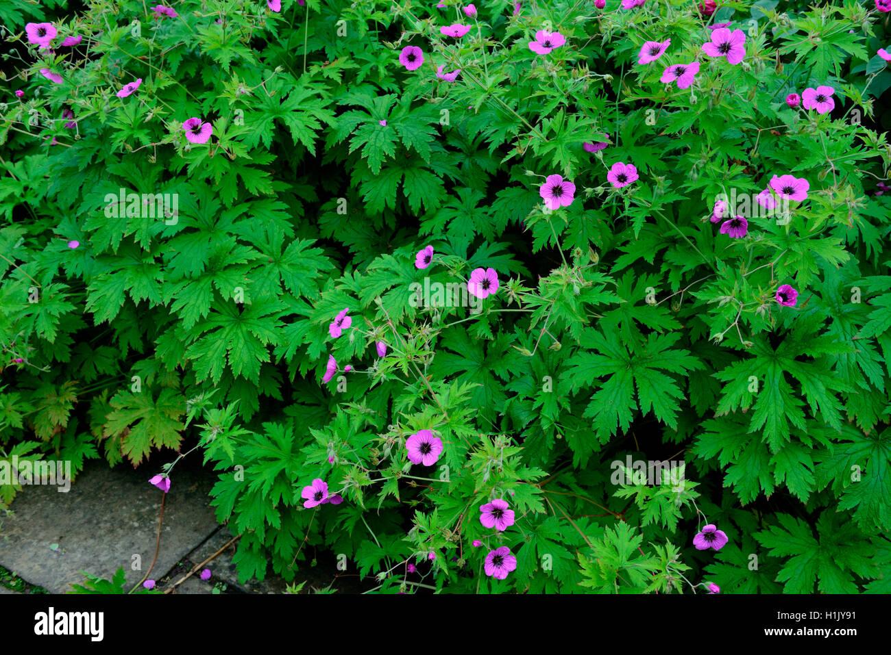 Storchschnabel in Blumenbeet, Geranium pratense - Stock Image