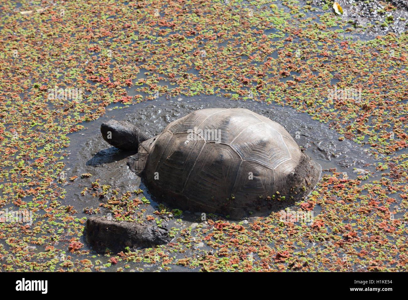 Galapagos Giant Tortoise, Chelonoidis nigra, Santa Cruz Island, Galapagos, Ecuador - Stock Image