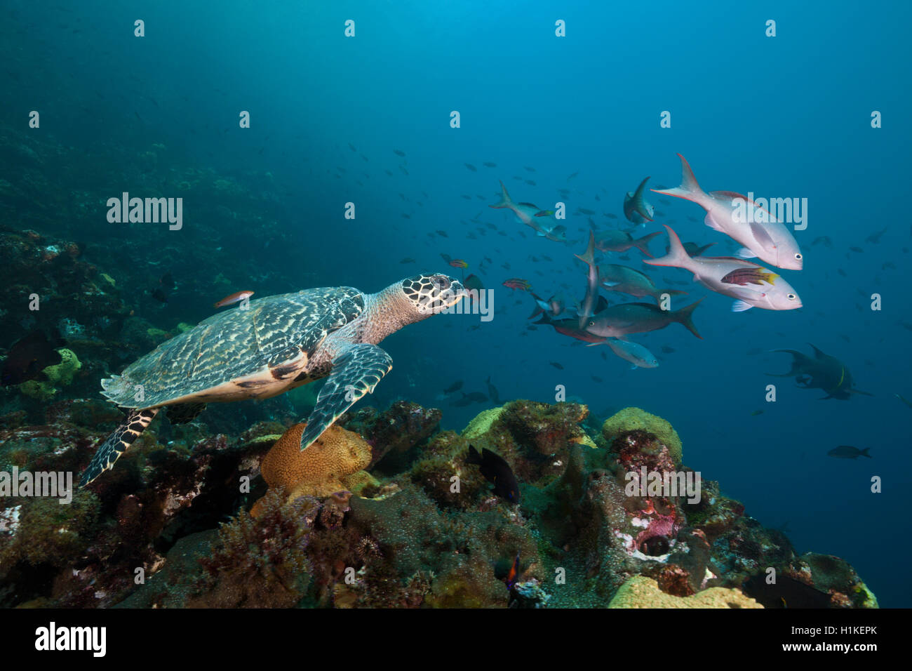 Hawksbill Sea Turtle, Eretmochelys imbricata, Punta Vicente Roca, Isabela Island, Galapagos, Ecuador - Stock Image