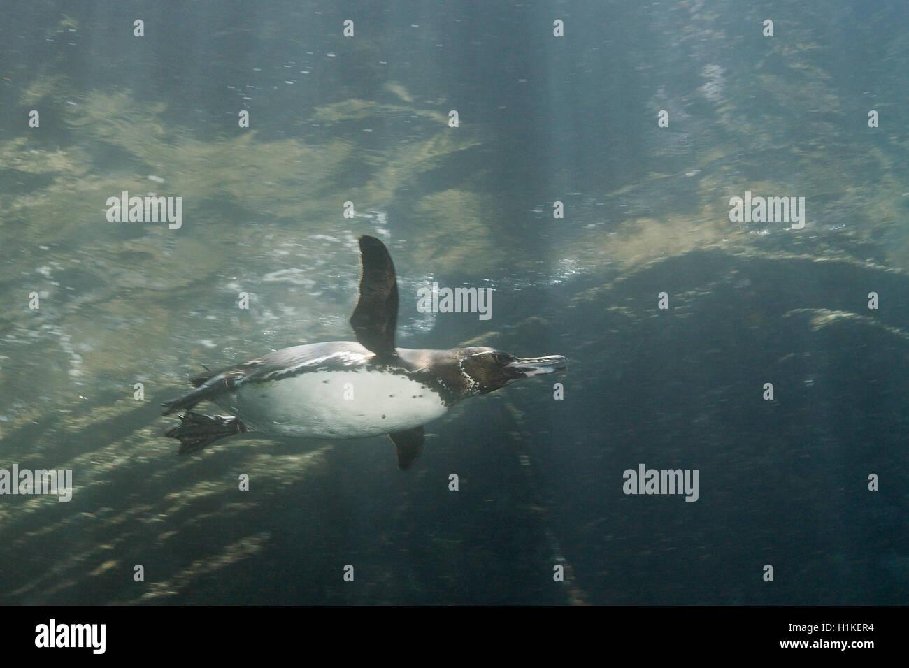 Galapagos Penguin, Spheniscus mendiculus, Punta Vicente Roca, Isabela Island, Galapagos, Ecuador - Stock Image