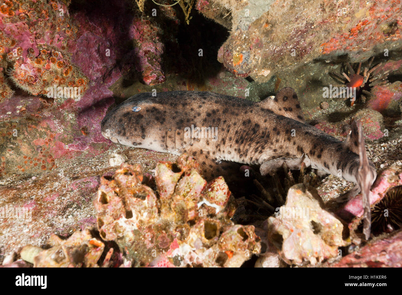 Galapagos Bullhead Shark, Heterodontus quoyi, Punta Vicente Roca, Isabela Island, Galapagos, Ecuador - Stock Image