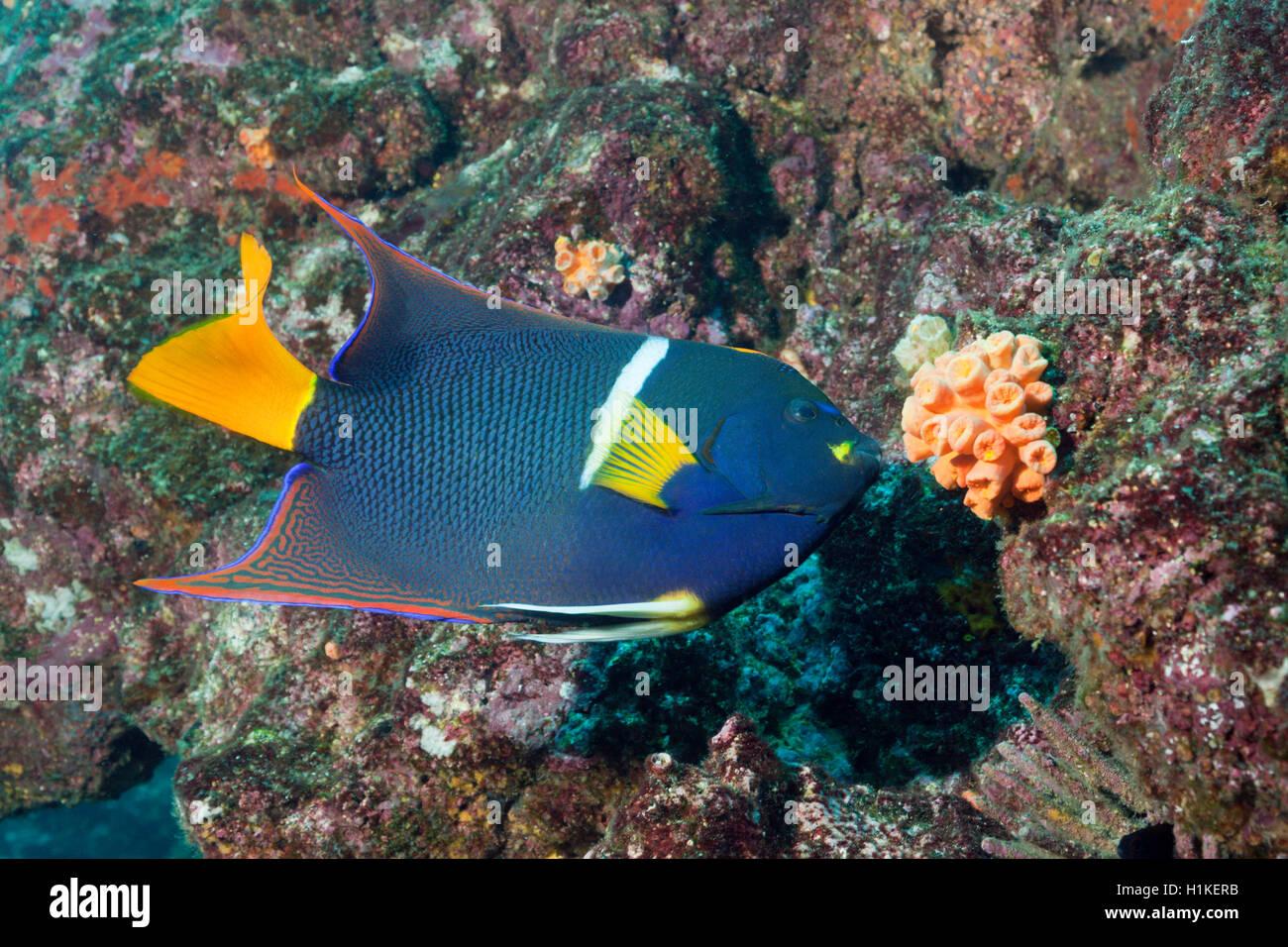 King Angelfish, Holacanthus passer, Cabo Marshall, Isabela Island, Galapagos, Ecuador - Stock Image