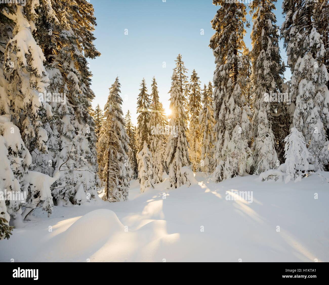 Sun shining through snow covered spruce trees, Feldberg, Black Forest, Baden-Württemberg, Germany Stock Photo