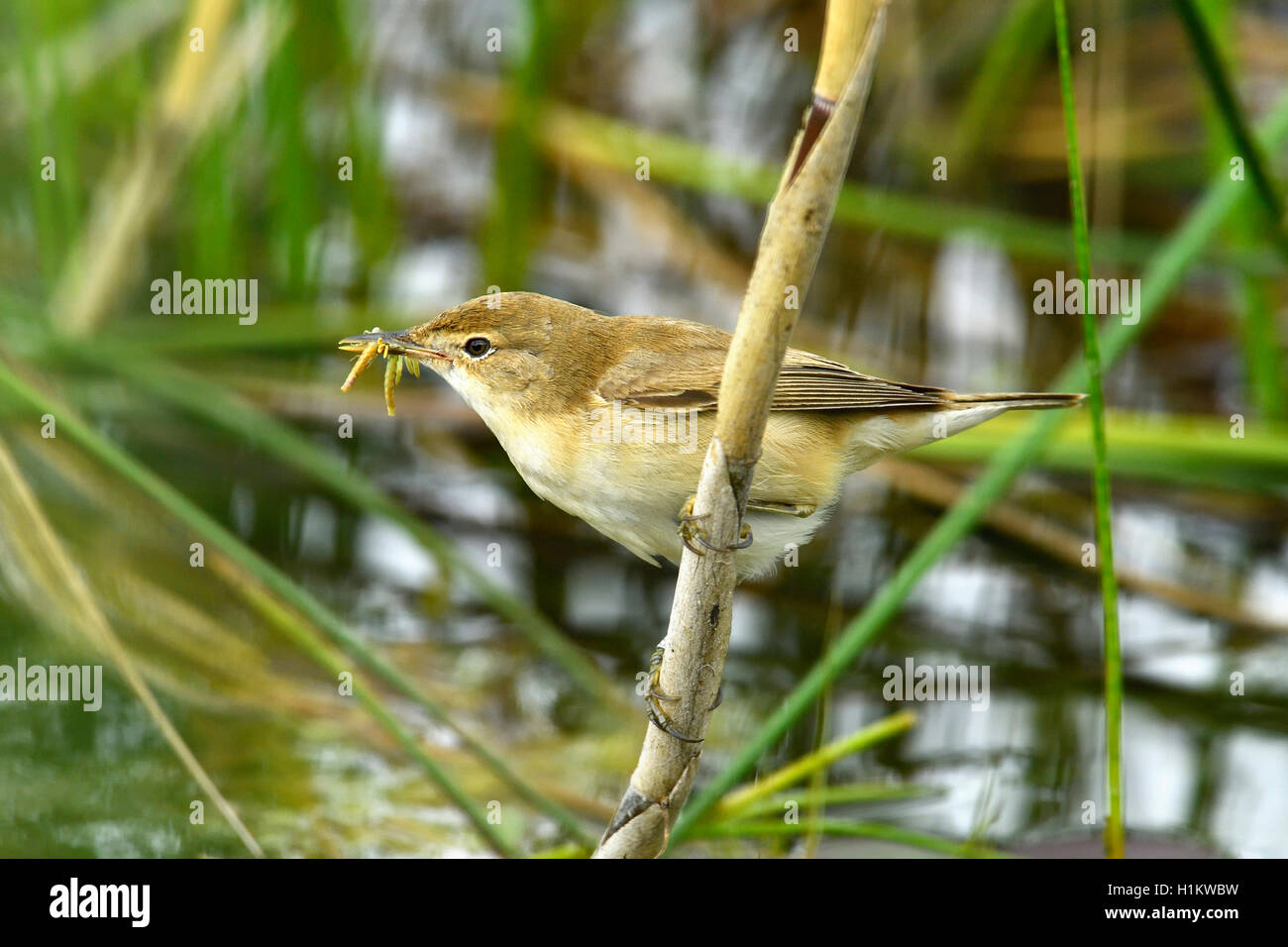Eurasian reed warbler (Acrocephalus scirpaceus) with food, insect in its beak, on a reed, Canton of Neuchâtel, - Stock Image