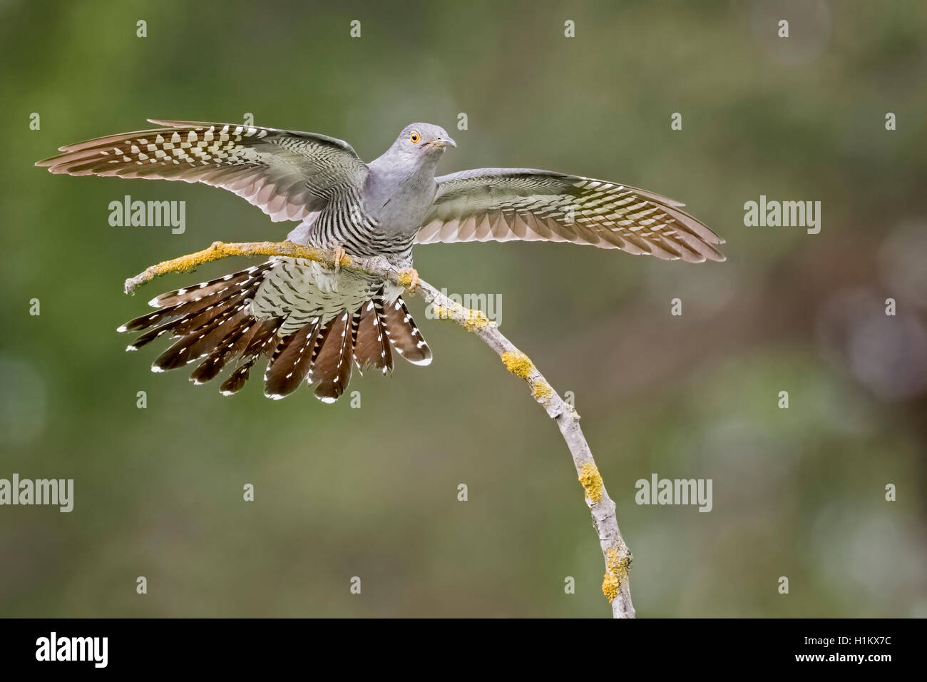 Common cuckoo (Cuculus canorus), with spread wings, on a branch, Middle Elbe Biosphere Reserve, Saxony-Anhalt, Germany - Stock Image