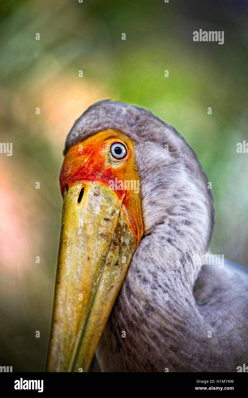 Yellow-billed stork, Mycteria ibis, a.k.a. the Wood Stork or Wood Ibis - Stock Image