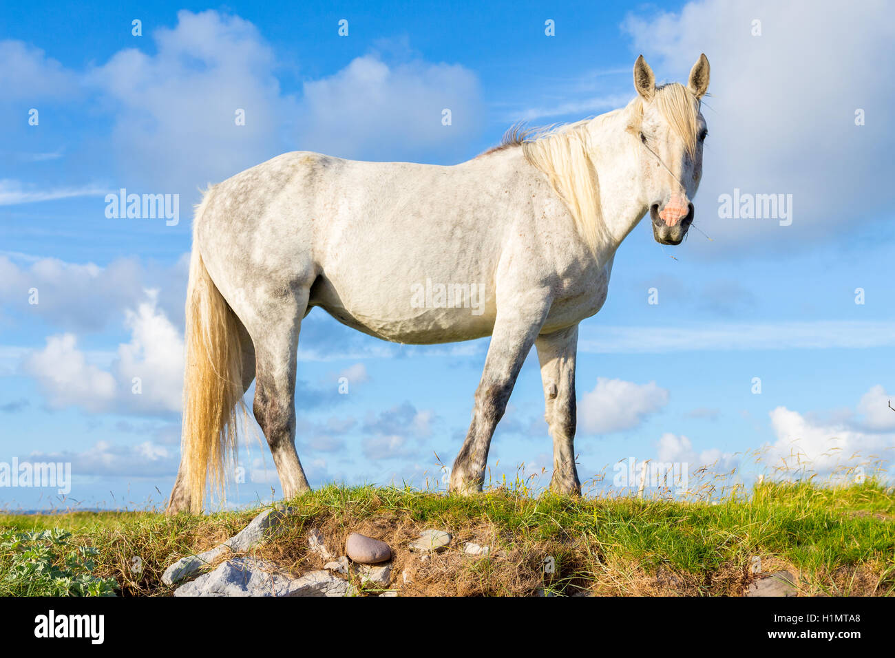 A gelding standing at profile in a field, looks at the camera. - Stock Image
