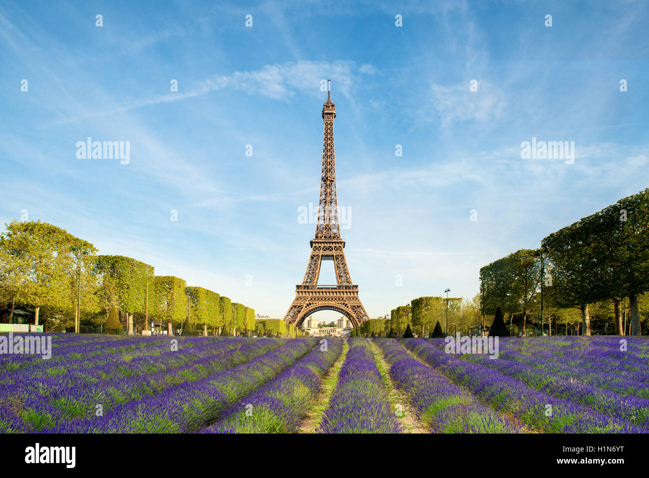 Beautiful purple lavender filed with Eiffel tower in background in Paris, France. Eiffel tower in morning in Paris, Stock Photo