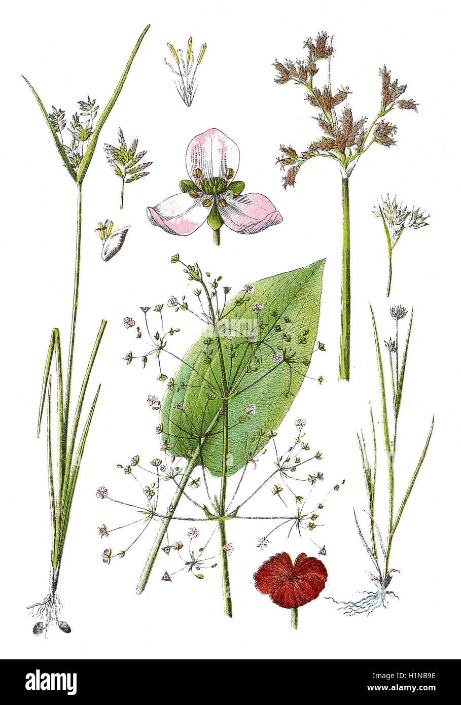 white beak-sedge, Rhynchospora alba (right bottem), lakeshore bulrush, Scirpus lacustris (right top),  chufa sedge, Stock Photo