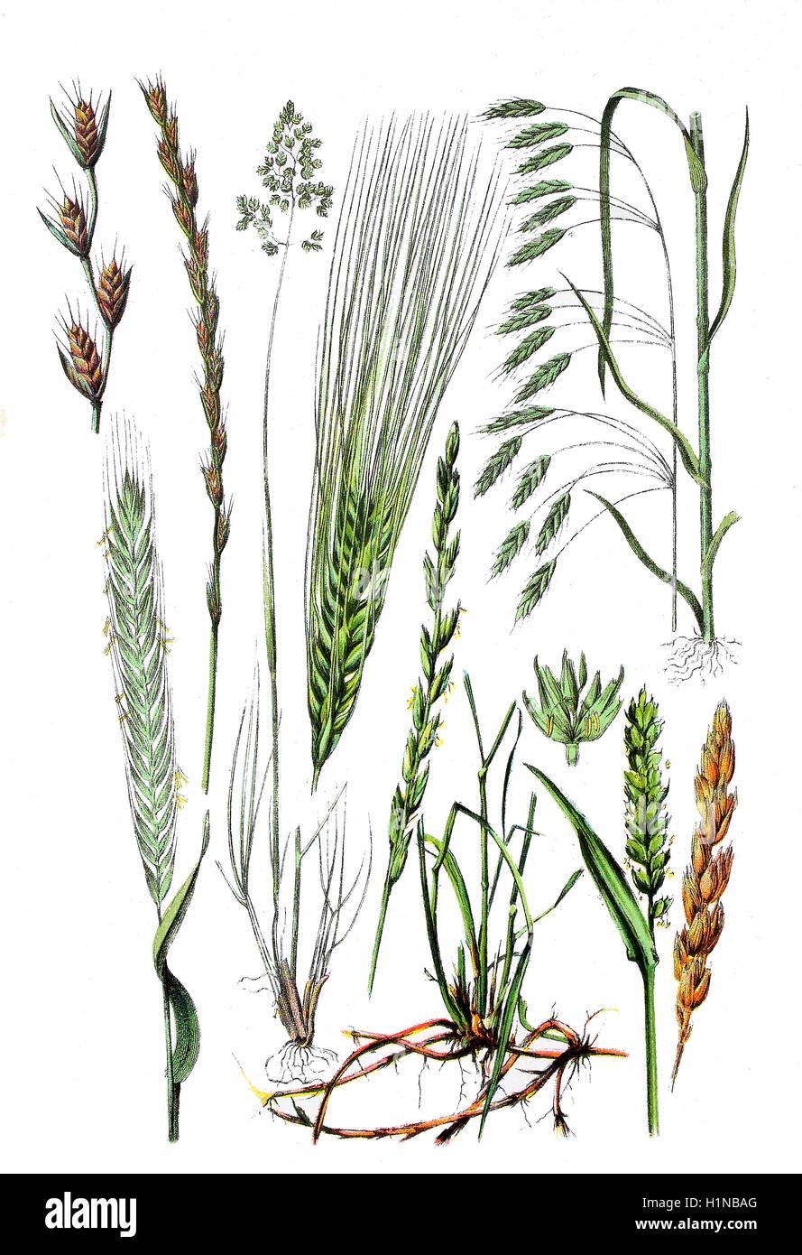 darnel, poison darnel, darnel ryegrass, Lolium temulentum (1. und 2. left top), Rye, Secale cereale (bottem left), - Stock Image