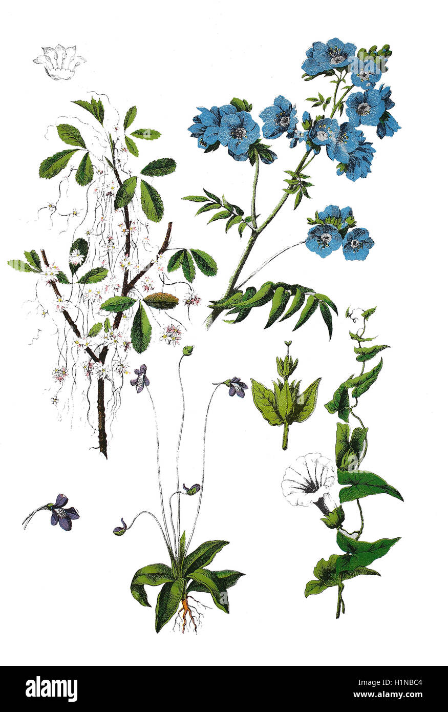 Dodder, Hellweed, Strangle-tare, Cuscuta epithymum (top left), Jacob's-ladder, Polemonium caeruleum (top right), - Stock Image