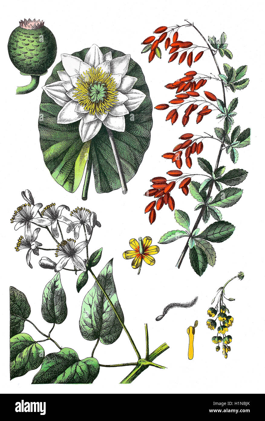European white water lily, white water rose, Nymphaea alba (top left), common barberry, Berberis vulgaris (right), - Stock Image