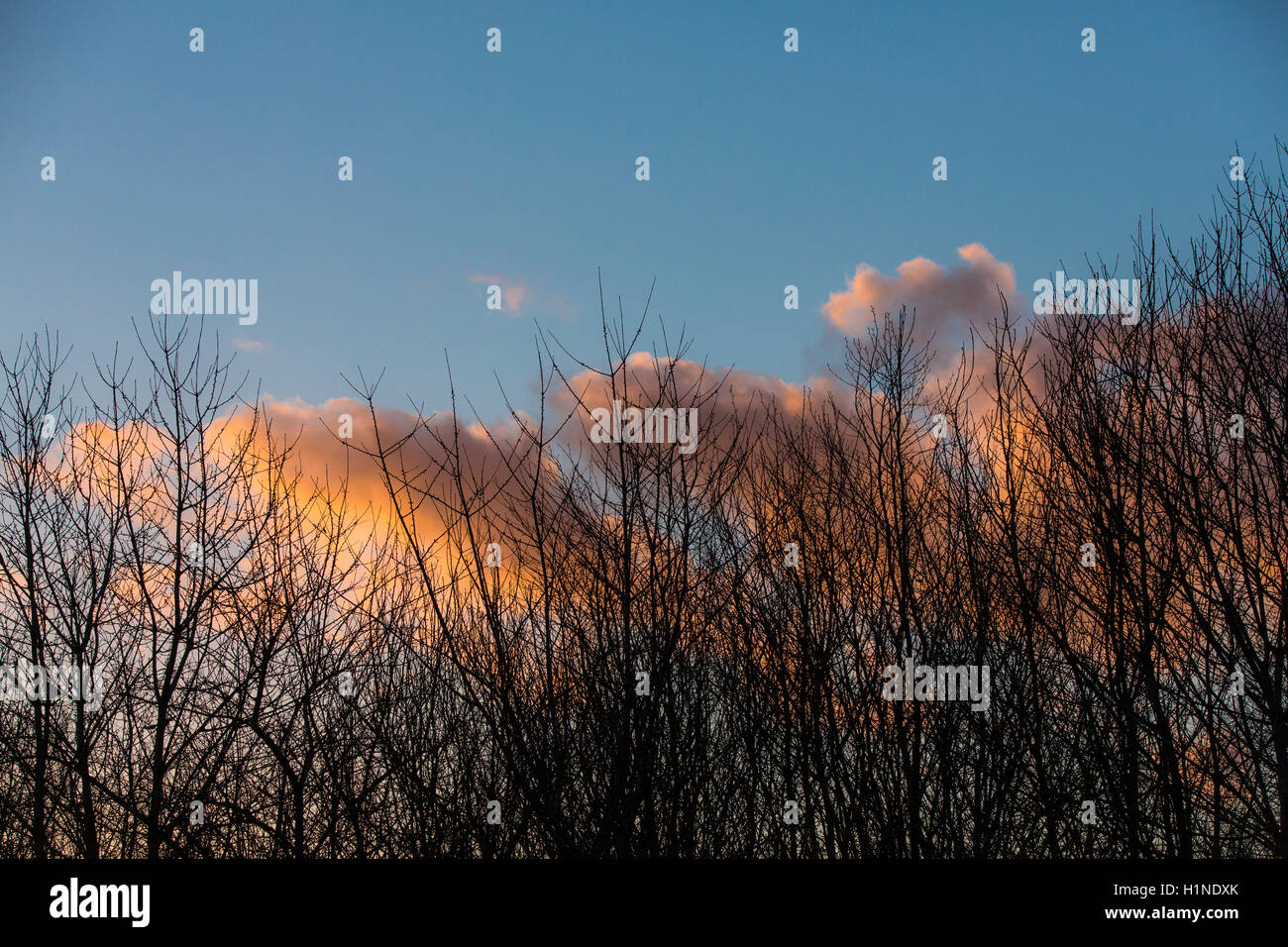 Pink and ornage coloured clouds at sunset with leafless trees in the middle of winter. - Stock Image