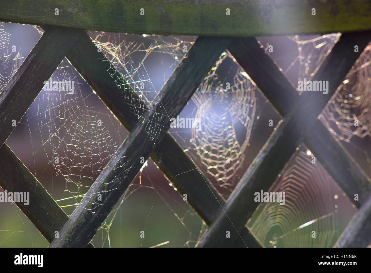 spiders webs on garden fence covered in early morning dew york yorkshire united kingdom - Stock Image