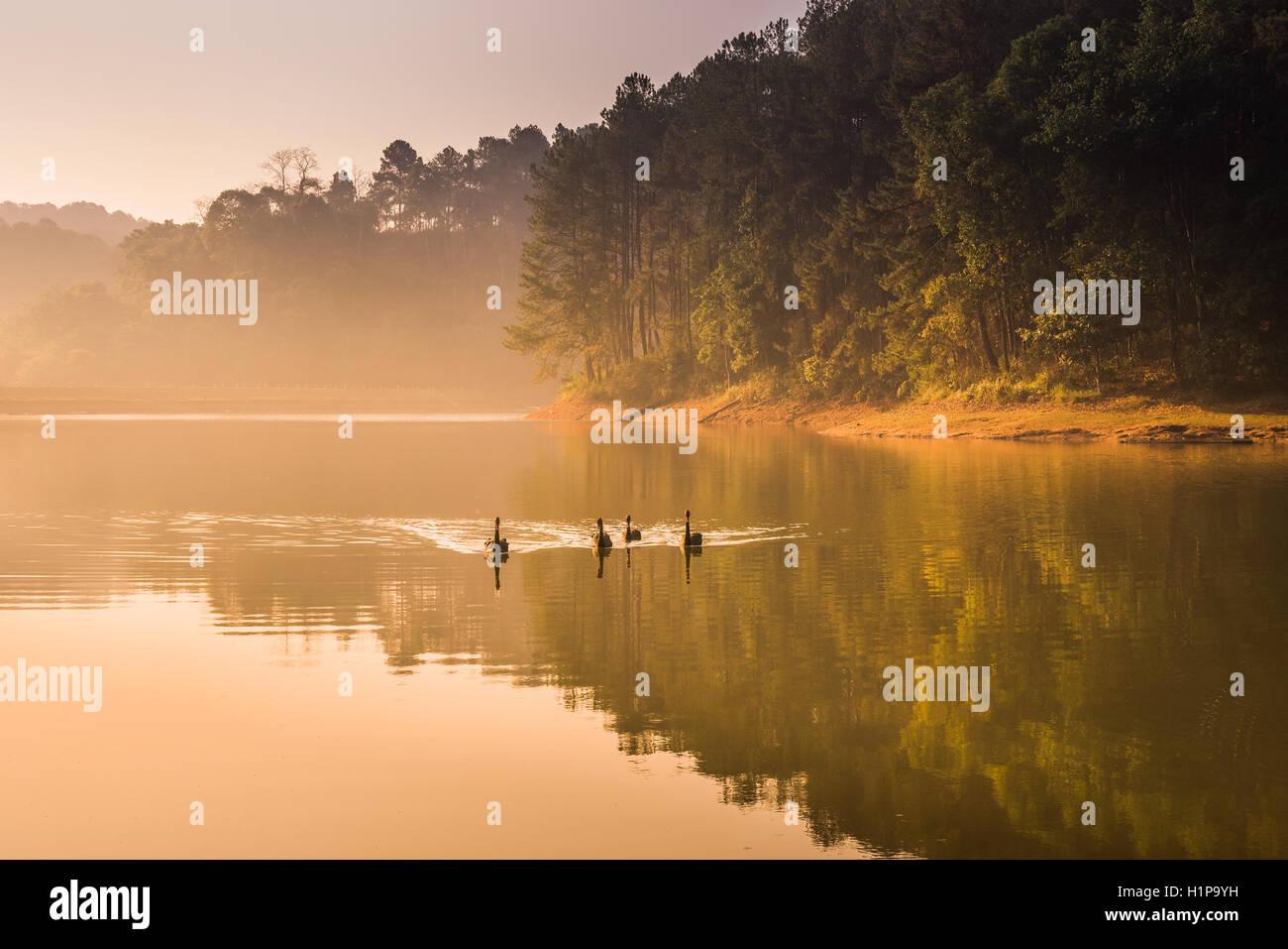 Swans swim in the lake morning Stock Photo
