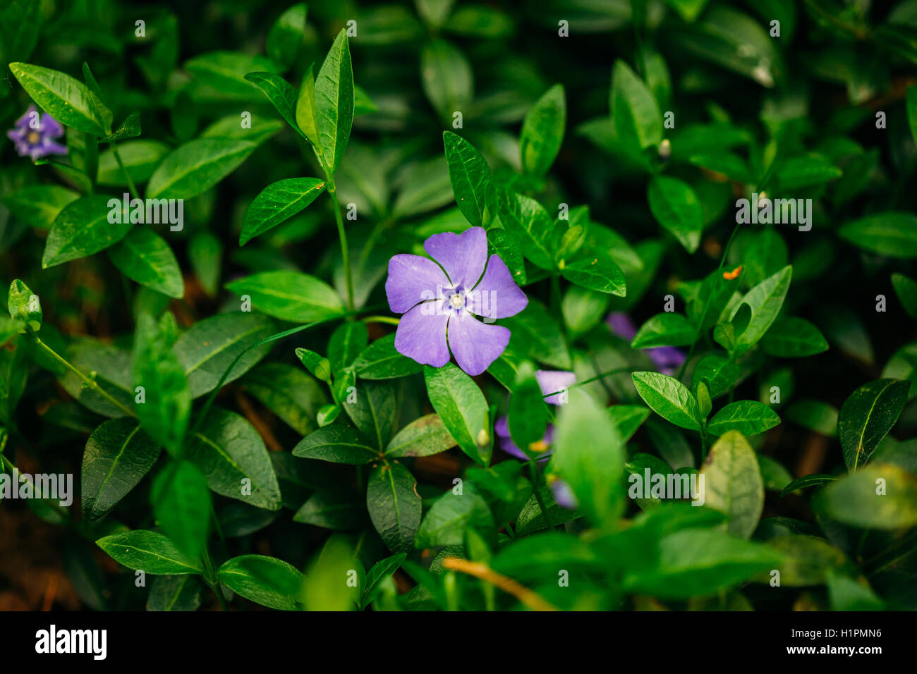 Flower With Five Petals Stock Photos Flower With Five Petals Stock