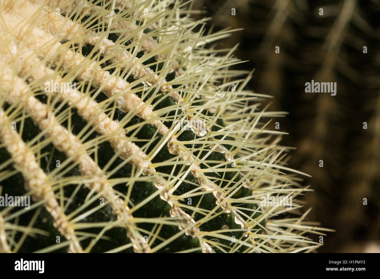Close up of Cactus spines - Stock Image
