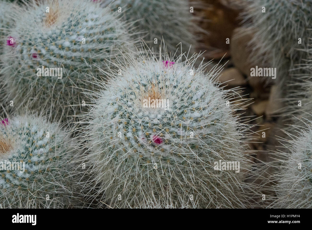 The hairy cactus