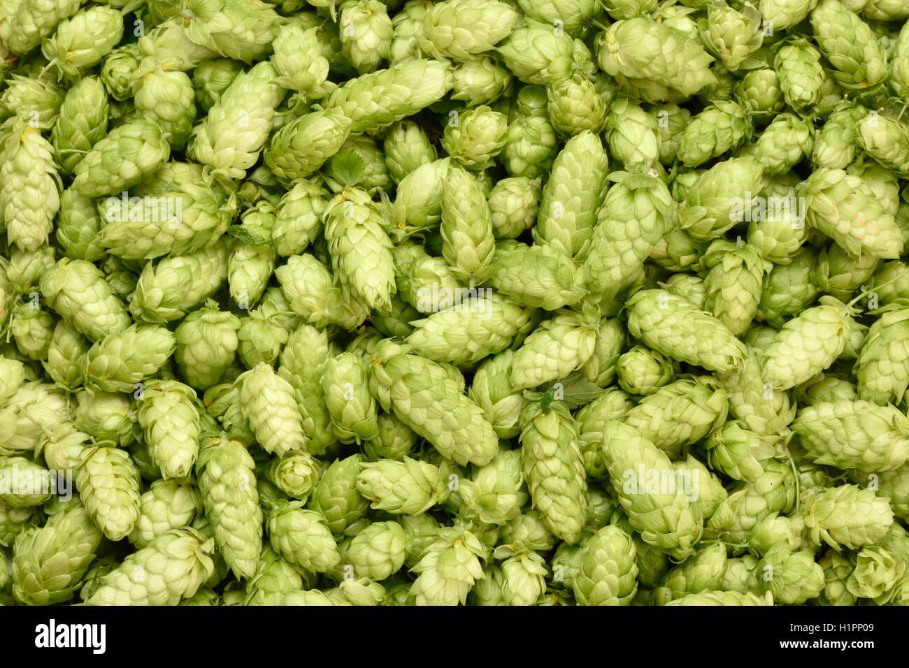 Hops (Humulus lupulus, SYBILLA) background. Fresh hoppy cones. - Stock Image