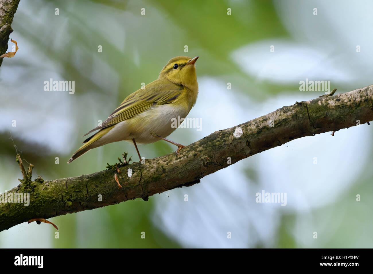 Wood Warbler / Waldlaubsaenger ( Phylloscopus sibilatrix ), male in breeding dress, New world Warbler, perched on Stock Photo