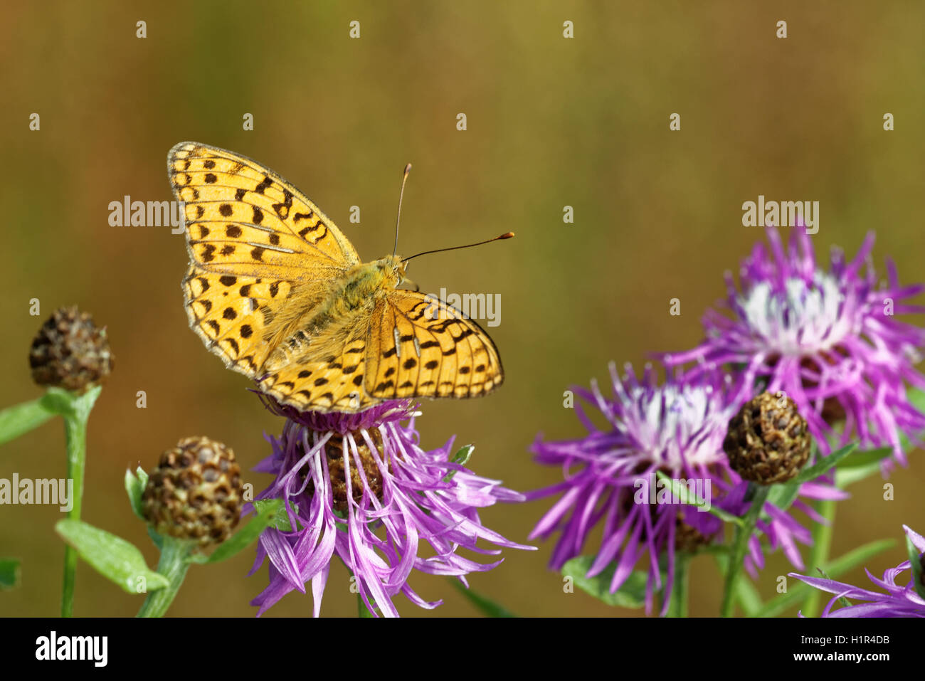 High brown fritillary (Fabriciana adippe) butterfly feeding on thistle flower. - Stock Image