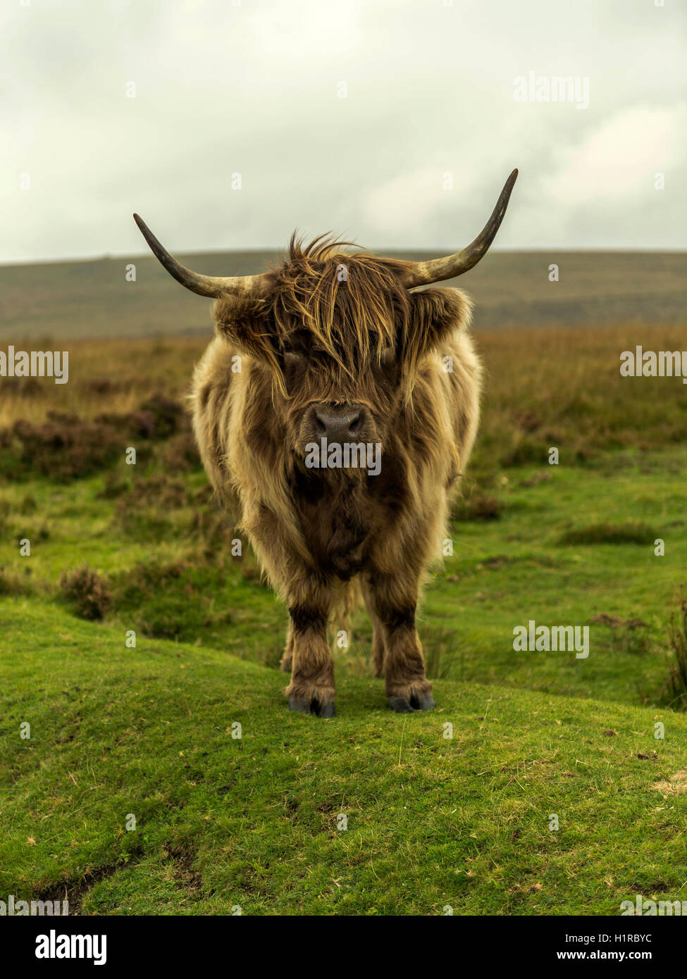 Highland cattle, grazing in the foreground within the Dartmoor National Park near Lettaford, Devon on a stormy autumn - Stock Image