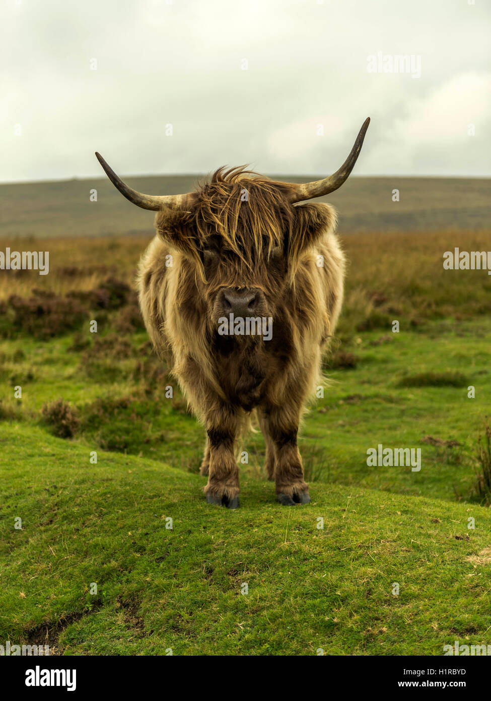 Highland cattle, grazing in the foreground within the Dartmoor National Park near Lettaford, Devon on a stormy autumn Stock Photo