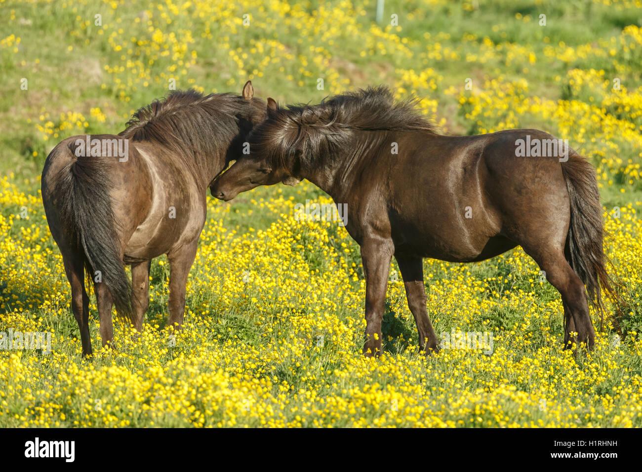 Icelandic horse - Stock Image