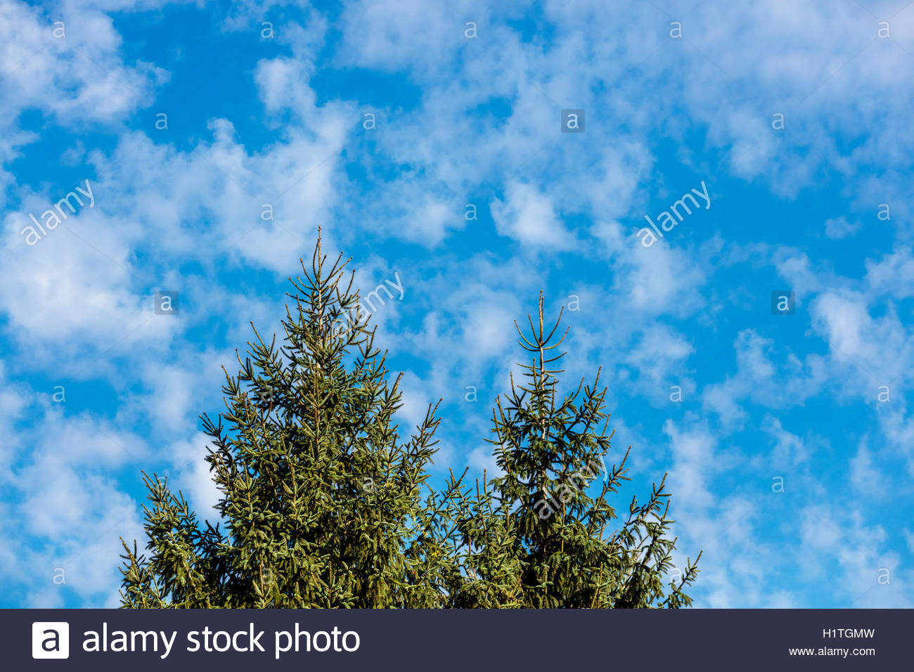 Tree and atmosphere. Concept of clean air carbon cycle biosequestration carbon reduction CO2 carbon storage - Stock Image