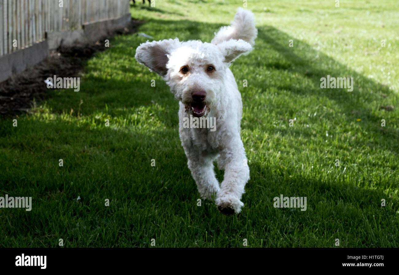 Dog running in park, Scotland, UK. - Stock Image