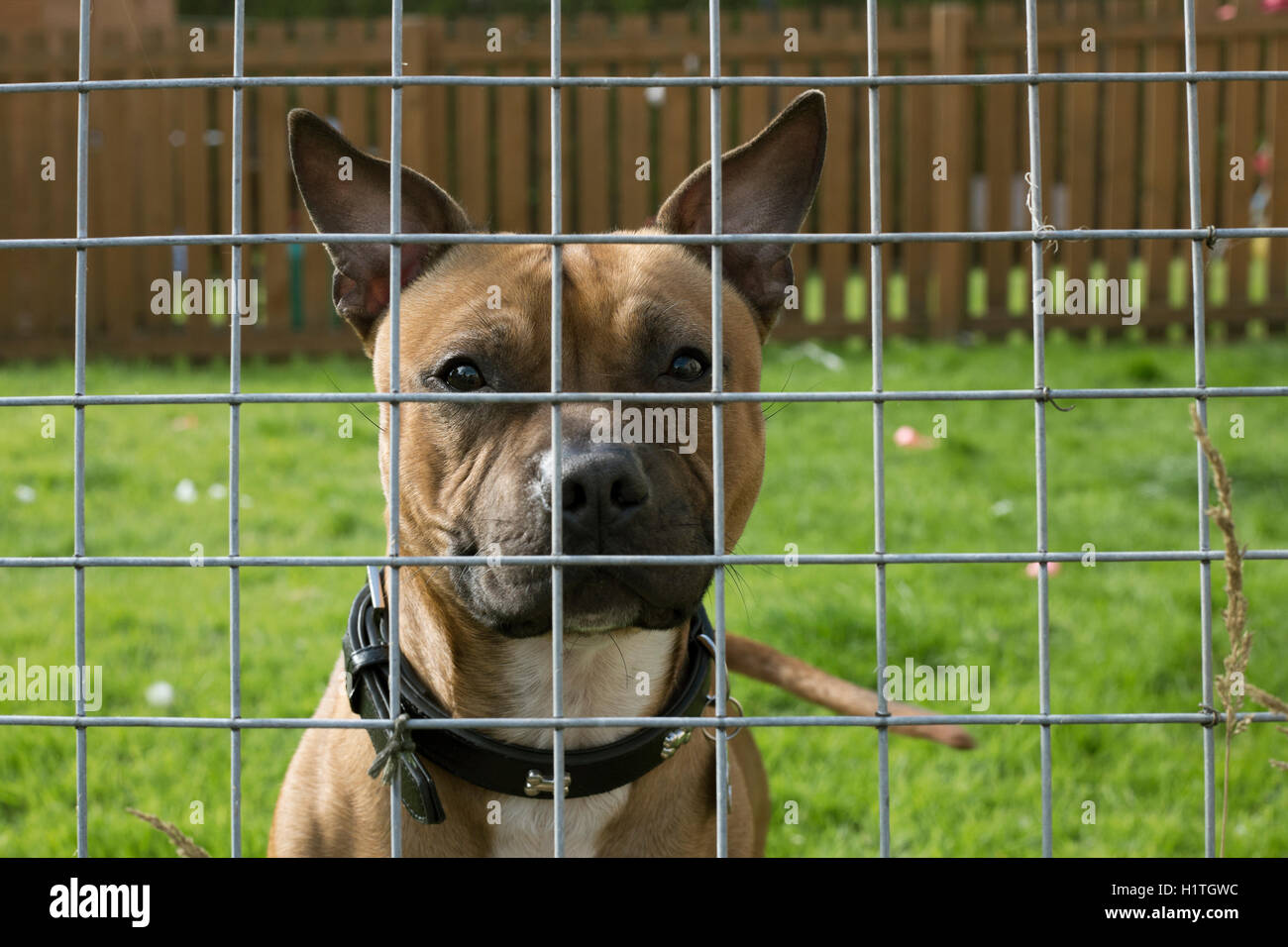 Dog through fence, Scotland, UK. - Stock Image
