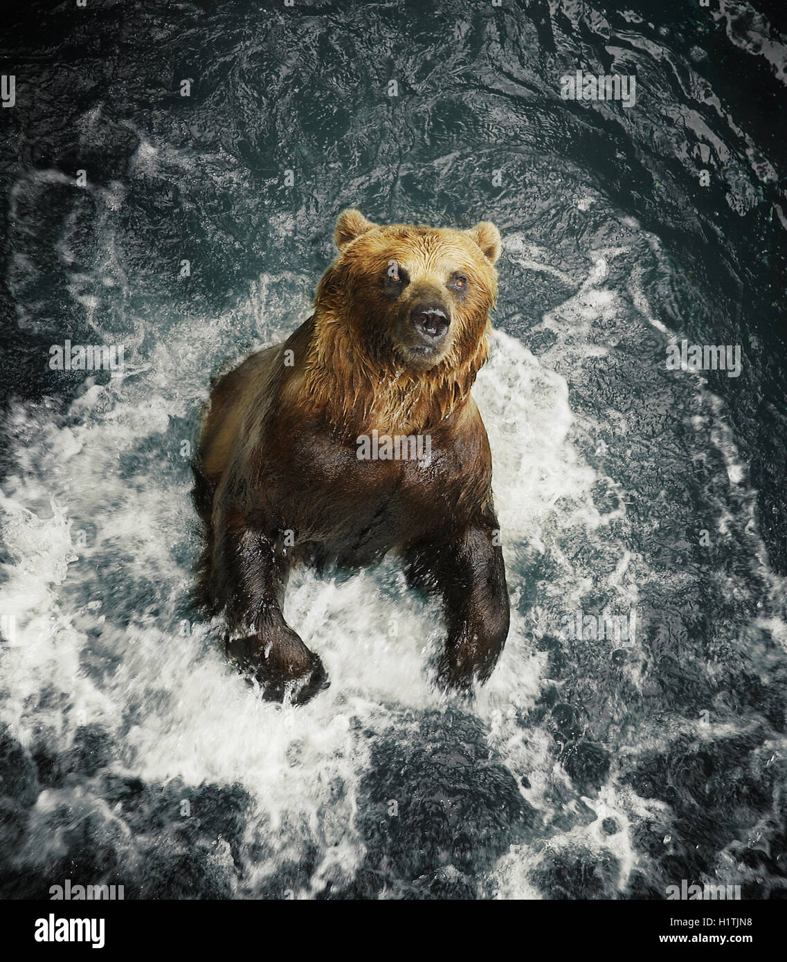 A grizzly bear splashes in water. - Stock Image
