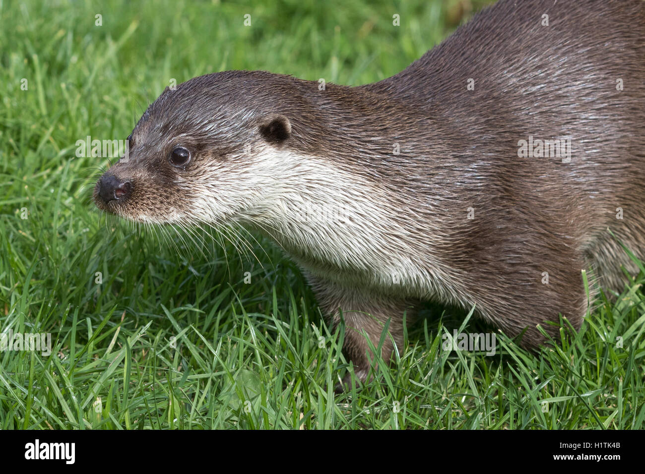 Otter (Lutra lutra) in the wild - Stock Image