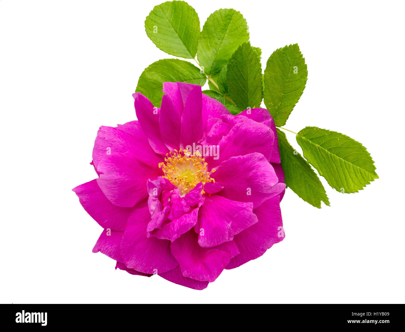 Pink rosa rugosa with leaves isolated on white Stock Photo