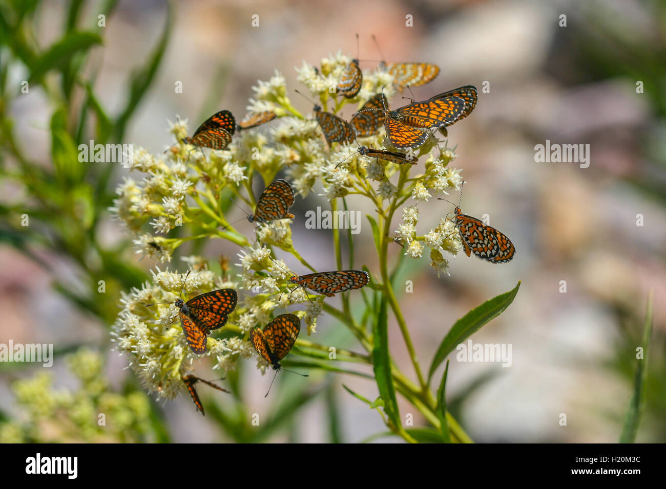 A group of Tiny Checkerspot butterflies (Dymasia dymas) nectaring on white flowers, Arizona, United States - Stock Image