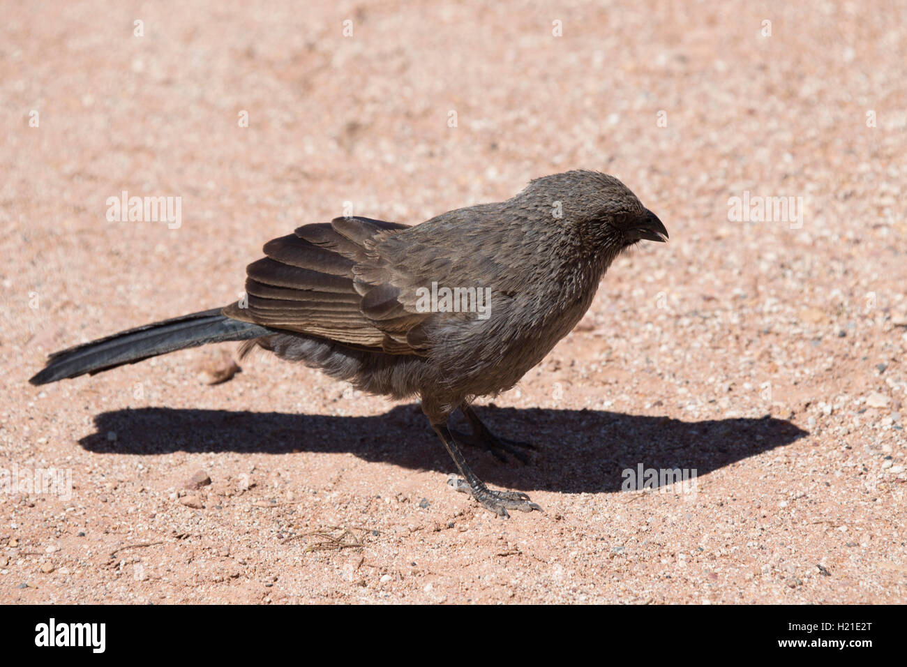 The apostlebird (Struthidea cinerea), also known as the grey jumper, lazy jack or cwa bird - Stock Image