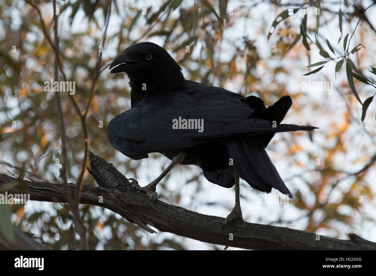 Australian Raven resting in a tree at Mungo National Park New South Wales Australia - Stock Image