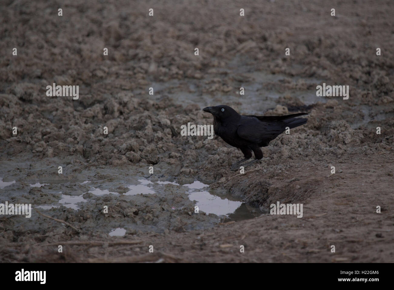 Australian Raven drinking from a puddle at Mungo National Park New South Wales Australia - Stock Image