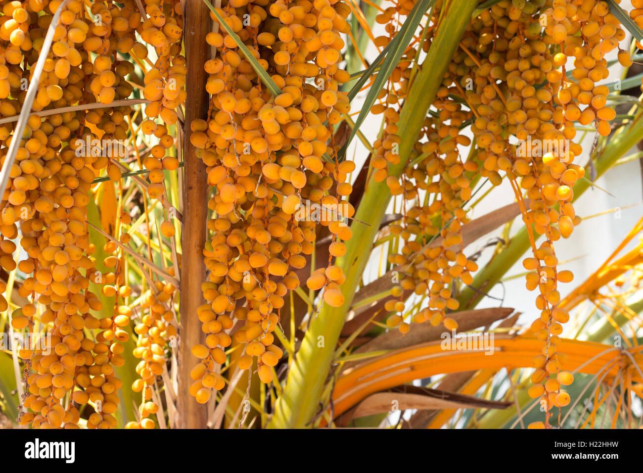 palm tree berries stock photos palm tree berries stock images alamy