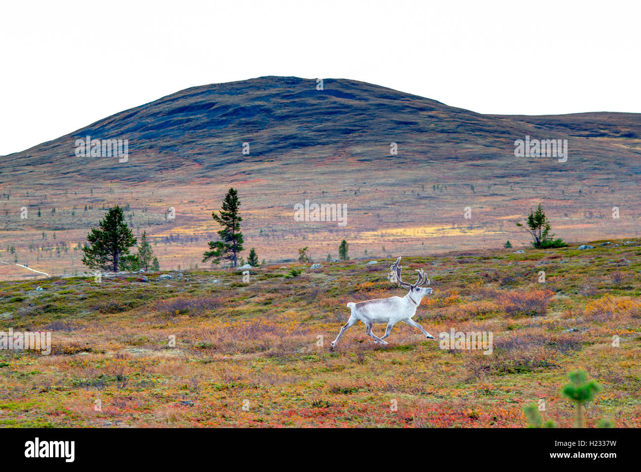 White reindeer with fall colors - Stock Image